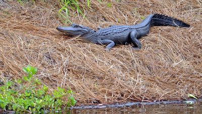Alligator kills woman trying to protect her dog at resort