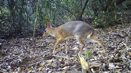 The silver-backed chevrotain is the size of a rabbit, but has hooves and fangs.