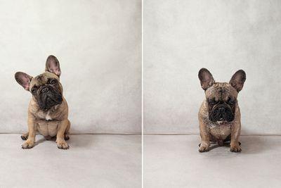<p>Garfunkel the French Bulldog</p>