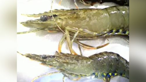 Prawns infected with white spot disease. (Supplied)