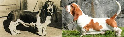 <strong>Basset hound</strong>