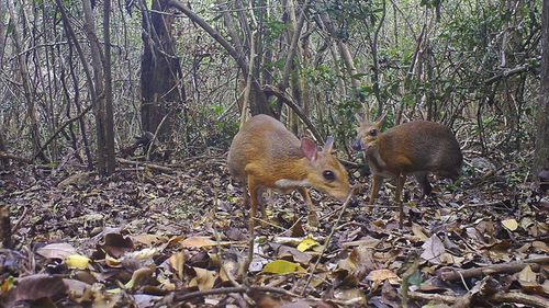 Two silver-backed chevrotains were captured by a camera trap in an undisclosed forest in south central Vietnam.