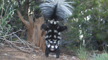 A spotted skunk is shown doing its signature handstand.