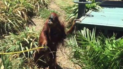 Puspa the Sumatran Orangutan took control of his own cool down, using the water from the hose to escape the heatwave. (Twitter: @ParisMartin_9)