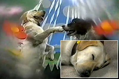 Remember Ramsay Street's beloved neighbourhood pooch Bouncer? In 1990 the loveable Labrador fell asleep... and dreamed that he got married to Rosie, the dog next door, and lived happily ever after. Yep: a dog <I>got married</I> in <I>a dream</I>. <br/><br/>(And if you think <I>that's</I> dumb, there was another dream sequence where Harold imagined he was a Scottish laird, complete with dodgy accents. Um.)<br/><br/><B>WTF rating:</B> ★★