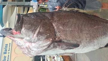The enormous fish, identified as a Warsaw grouper, was caught using a hook and line December 29 in about 182 metres of water, according to the FWC's Fish and Wildlife Research Institute.
