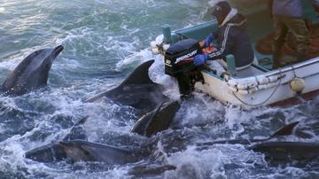 Fishermen on boats go over bottlenose dolphins in Taiji, western Japan.