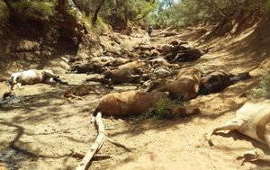 Heatwave: Close to 100 wild horses in central Australia have died with a 12-day heatwave exacerbating already grave conditions