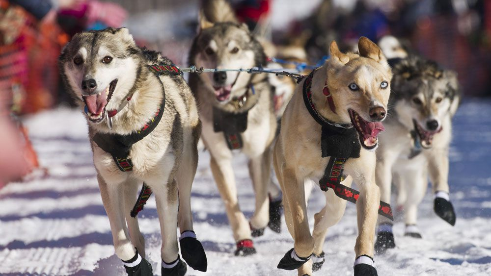 Dog killed during Iditarod race attack