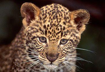Daily Quiz: What genus is the leopard? Acinonyx, neofelis, panthera or puma?
