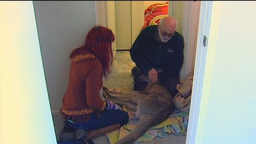 Mr Ahokavo then called the police, who in turned contacted Wildlife Victoria, prompting a visit by animal rescuer Manfred Zabinskas. Picture: 9NEWS