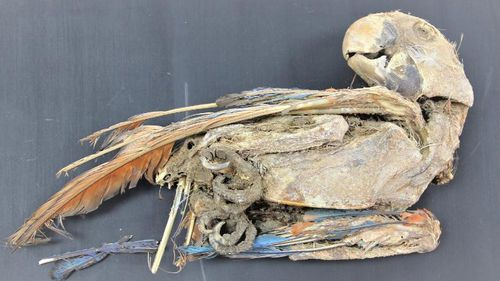 A mummified scarlet macaw.