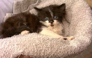 Animal cruelty: kitten rescued after being thrown down embankment in Sydney