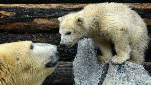 Polar bear cubs dying at dramatic rate 'due to warmer temperatures'