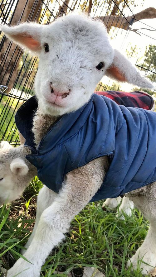 Farmers say there are more orphaned and abandoned lambs than usual due to the drought.
