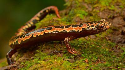 Salamander bolitoglossa