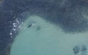 Two dolphins filmed hunting massive school of salmon off Maroubra Beach