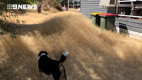 "The pet dog looks on to the ""field of gold"". (Copyright: 9NEWS)"
