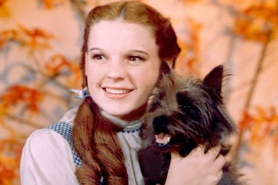 Terrier Toto is Dorothy's best friend and loyal companion on her bizarre  trip out of Kansas.
