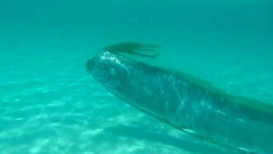 An oarfish captivates tourists in Mexico.