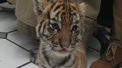 The tiger cub was found in an express mail package. (AP)