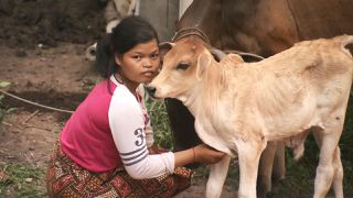 Cows for Cambodia (Part 5)