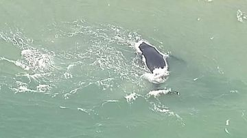 Stranded whale in Queensland