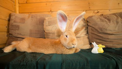 A rescue rabbit the size of a small dog has finally found a home