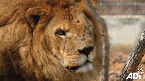 Animal rights group rescues 33 lions from circuses in Peru and Colombia
