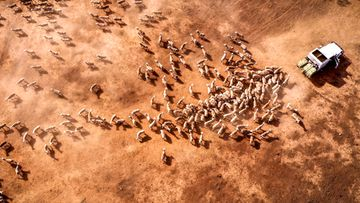 Australian farmer Richard Gillham drives his truck across a drought-affected paddock as he feeds his sheep on his property 'Barber's Lagoon' located on the outskirts of the north-western New South Wales town of Boggabri, Australia