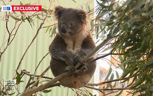 Koala sanctuary man's special gift for animals after losing everything in bushfires