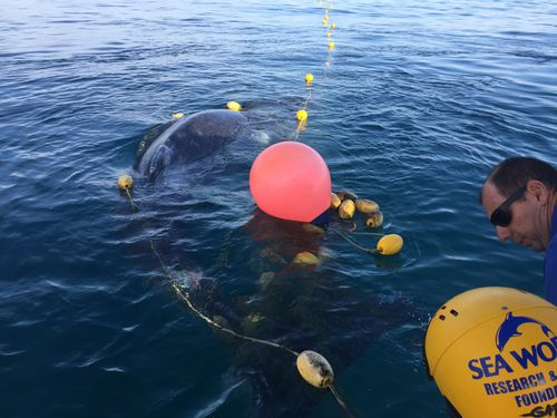 The whale was spotted about 50 metres offshore on Greenmount beach by a member of the public, with the Seaworld Rescue team called at around 5.45am.