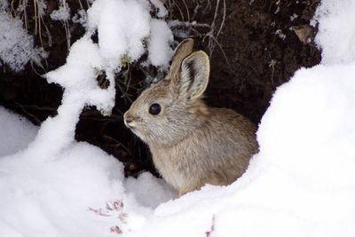 Pygmy rabbit<br>