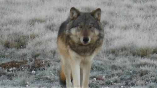 Hunter finds first grey wolf seen at Grand Canyon since 1940s … then he kills it