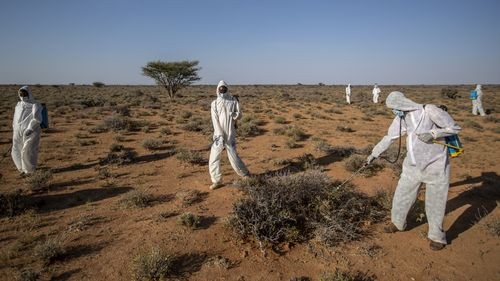 Pest-control sprayers demonstrate their work on the thorny bushes in the desert that is the breeding ground of desert locusts in Somalia.