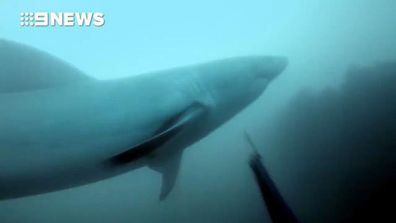 9RAW: Diver films extremely close call with huge great white shark