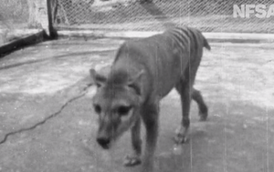 Newly digitised video shows last known images of Tasmanian Tiger