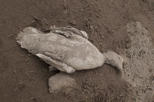 A dead duck lies on the ground close to the volcano. Picture: AP
