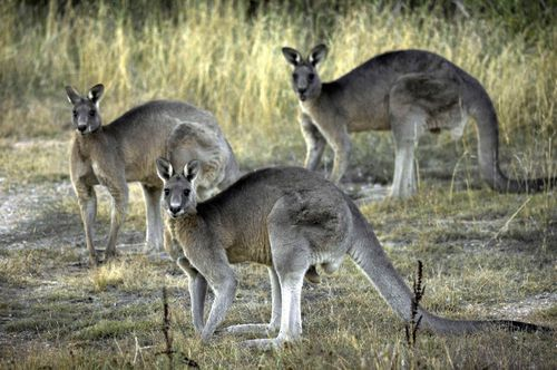 Kangaroos are being pushed into residential areas in the search for food and water.