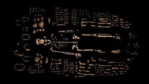 The skeleton of Homo naledi recovered from the Rising Star cave in South Africa. (AAP/National Geographic)