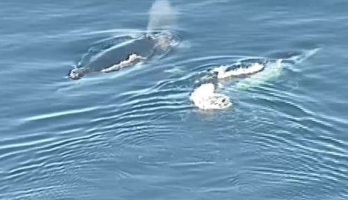 Video from the 9NEWS helicopter captured the marine animals just off the coast at Olivers Hill in Frankston at 8.45am.
