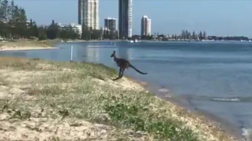 'Skippy' startled beach walkers when he was seen jumping out of the water. (9NEWS)