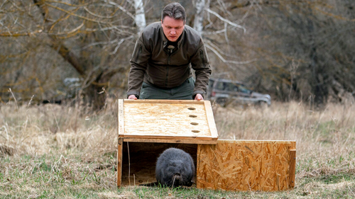 Denis Vishnevskiy, chief of the unit of the Chernobyl Radiation and Ecological Biosphere Reserve, releases a beaver in a forest at the Chernobyl exclusion zone, Ukraine, Tuesday, April 13, 2021. To the surprise of many who expected the area might be a dead zone for centuries, wildlife is thriving.