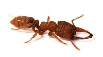 The Dracula ant can close its jaws faster than any animal on Earth can do anything.