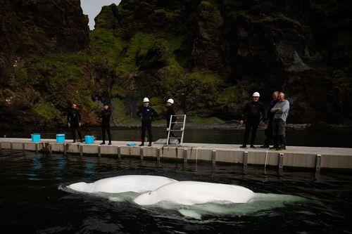 Little Grey and Little White swim in their bayside care pool for a short period of time to acclimatise to their new natural environment at the open water sanctuary in Klettsvik Bay in Iceland.