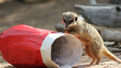 Another meerkat inspected a Christmas stocking.