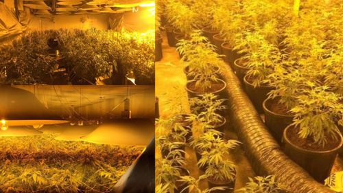 $2.4 million cannabis set-up found in Wollongong