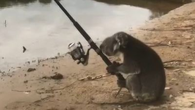 Koala spotted fishing on banks of Murray River