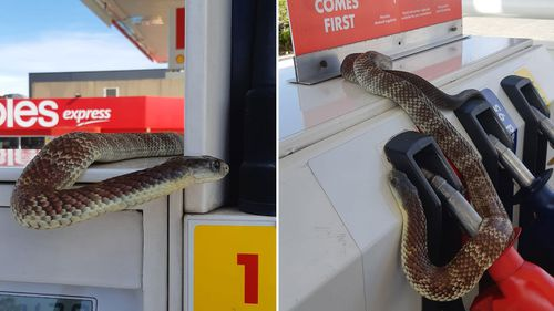 This deadly tiger snake was captured at a service station in Melbourne.