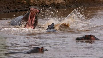 Hippos are the most dangerous large animals in Africa.